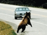 """<B>Wildlife and Highways: """"ROADKILL"""" An Overview</B>"""