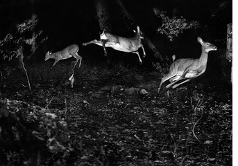 George Shiras: In the Heart of the Dark Night, three deer escaping