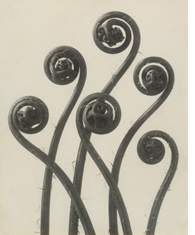 """Adiantum pedatum"" (1898) by Karl Blossfeldt is reproduced from <I>Object:Photo. Modern Photographs 1909-1949</I>."
