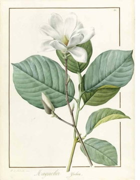 "Featured image, ""Magnolia yulan (Magnolia denudata)"" (1812), is reproduced from <I>Pierre-Joseph Redouté: Botanical Artist to the Court of France</I>."