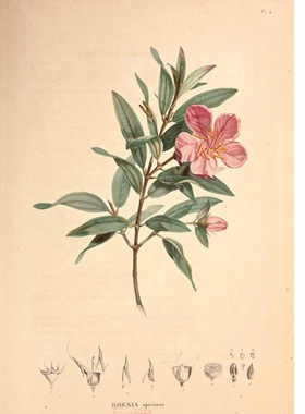 "Featured image, Alexander von Humboldt and Aimé Bonpland's ""Rhexia seciosa"" from <I>Monographia Melastomacearum</I> (1816–23), is reproduced from <I>Unity of Nature</I>."