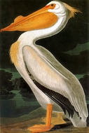American White Pelican painting reproduction, John James Audubon