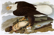 Bald Eagle painting reproduction, John James Audubon