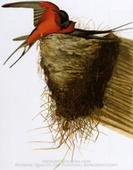 Barn Swallow painting reproduction, John James Audubon