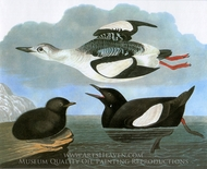 Black Guillemot painting reproduction, John James Audubon