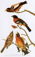 Black-Headed Grosbeak and Evening Grosbeak painting reproduction, John James Audubon