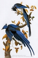 Blue Jay painting reproduction, John James Audubon