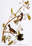 Boreal Chickadee painting reproduction, John James Audubon