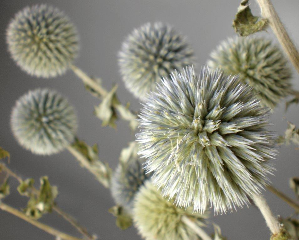Natural Globe Thistle Preserved (19-20 thistles)