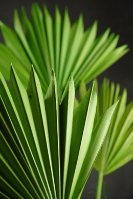 Palms Natural Dried Preserved Amp Artificial Fronds