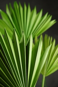 Palms Natural, Dried, Preserved & Artificial Fronds