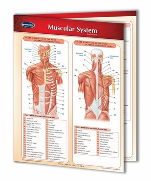Muscular System 8 1/2x11 Laminated - 2 Panel