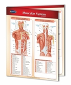 Muscular System Chart - 2 Panel