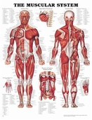 "Muscular System Chart Laminated 20"" x 26"""