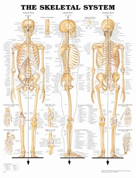 Skeletal System Laminated Chart 20 x 26