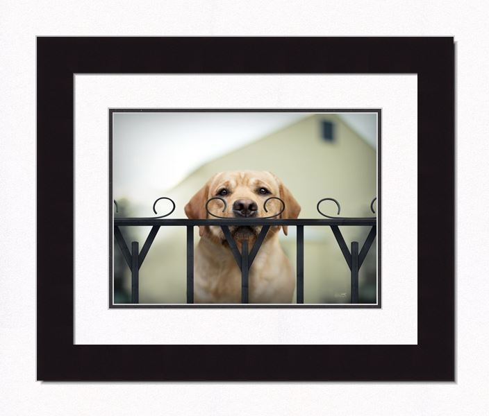 "Framed Picture - ""Wyatt - Yellow Lab"" - 20in x 16in - Artist Ron Schmidt"
