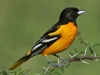 "Baltimore Oriole 5.5"" Plush"