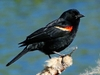 "Red-Winged Blackbird 5.5"" Plush"