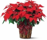 Large Red Poinsettia - Designs East Florist Dallas