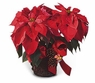 Poinsettia and Pinecones - Designs East Florist Dallas