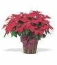 Poinsettia Red - Designs East Florist Dallas