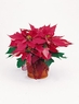 The Classic Poinsettia - Designs East Florist Dallas