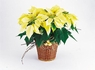 White poinsettia - Designs East Florist Dallas