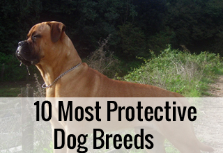 10 Most Protective Dog Breeds