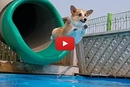4 Corgis, A Pool AND Waterslide? We Couldn't Help But Watch