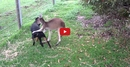 A Dog and Kangaroo Meet for the First Time! Utterly Incredible!!