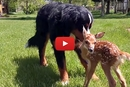 After Her Mother Abandoned Her, This Baby Deer Stumbled Into The Right Backyard!