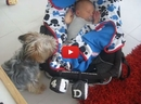 Aww! Watch This Adorable Yorkie Tuck in Her Sleeping Baby Brother