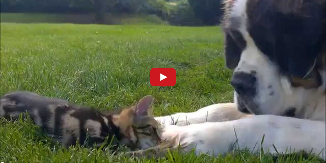 Bella the Dog is Fond of Her New Kitten Companion- Watching Them Meet is Too Cute to Handle!!