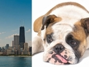 "Canine Flu Outbreak Approaches ""Epidemic"" Level in Chicago"