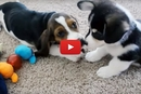 Corgi and Basset Hound Playdate? We Had To Watch!