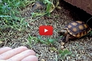 Ever Seen A Turtle That Comes? Meet Taco The Turtle!