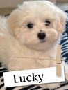 Have You Ever Met A Lucky Maltese?