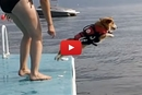 Have You Ever Seen A Corgi Do A Belly-Flop?