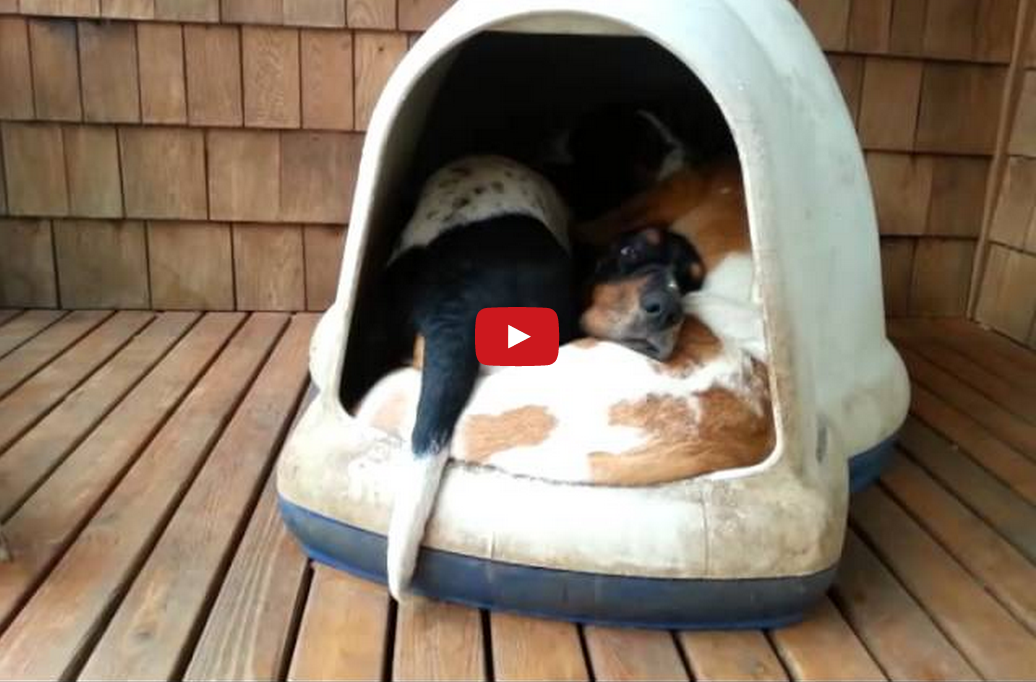 How Many Basset Hounds Can Fit in One Dog House? The Answer May Surprise You!!