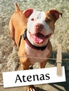 Meet Atenas: The Happiest Pit Bull in the Whole World