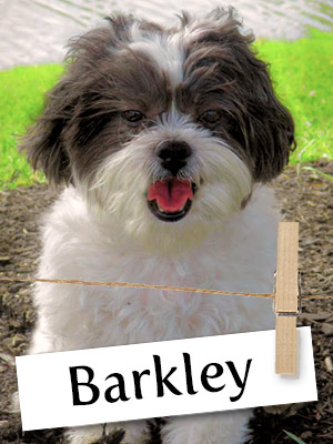 Meet Barkley, The Adventurous Shichon!