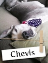 Meet Chevis: The Gentle Giant Who has a Heart of Gold