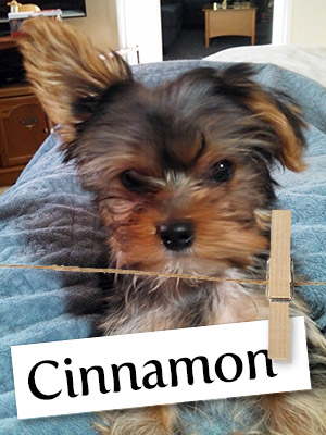 Meet Cinnamon: The Yorkie Who Brings Smiles To All