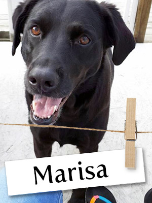 Meet Marisa: The Rescued Lab Who Only Had a Few Hours to Live
