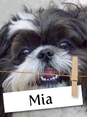Meet Mia, The Shih Tzu Who Stole Her Owner's Heart!