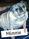 Meet Minnie, the Adorable Pug!