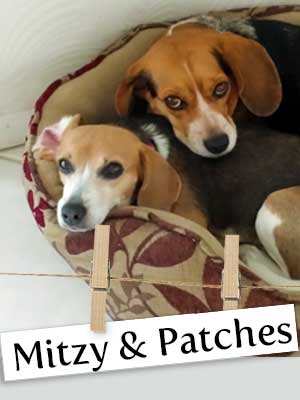 Meet Mitzy and Patches: The Beagles of Boynton, Florida!