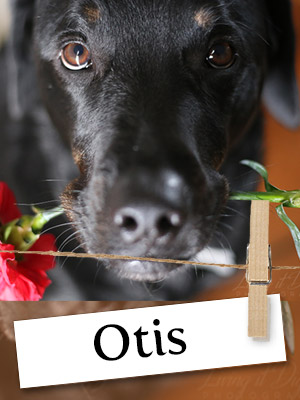 Meet Otis, The Remarkable Rottweiler