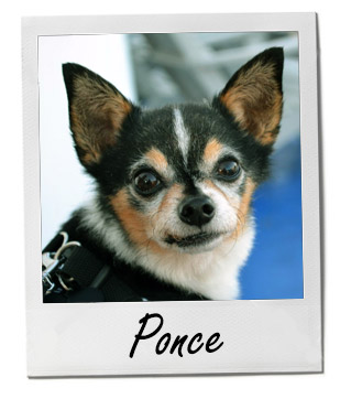 Meet Ponce: A Chorgi Who Found His Forever Home - Pet of the Week