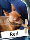 Meet Red: The Miniature Pinscher who Deserved a Second Chance